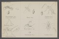 Chrysolampus - Print - Iconographia Zoologica - Special Collections University of Amsterdam - UBAINV0274 046 11 0008.tif