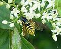Chrysotoxum species - Flickr - gailhampshire (5).jpg