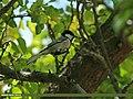 Cinereous Tit (Parus cinereus) (20390616188).jpg