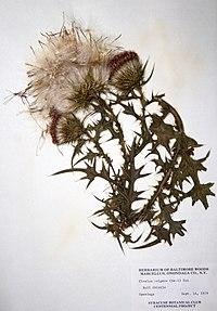 Cirsium vulgare BW-1979-0914-9935.jpg