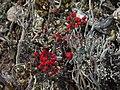 Cladonia floerkeana - geograph.org.uk - 165119.jpg