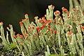 Cladonia sp. (38379683375).jpg