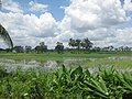 Clear sky with paddy field in Bangladesh Agricultural University 02.JPG