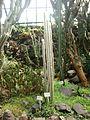 Cleistocactus strausii 2.JPG