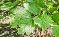 Clematis heracleifolia in La Jaysinia.jpg