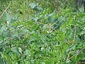 Clematis ligusticifolia (5062202793).jpg