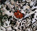 Coccinella septempunctata - Flickr - S. Rae (6).jpg