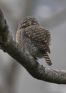 Collared Owlet.jpg