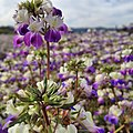 Collinsia Wildflowers at Nursery, Rogue River Siskiyou National Forest (25165472981).jpg