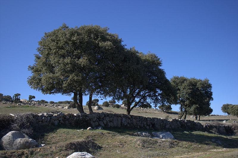 File:Colmenar viejo paisaje con quercus ilex.jpg