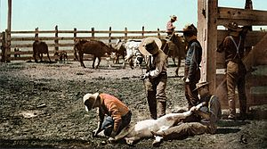 Livestock branding - Branding calves in Colorado, c. 1900. Photochrom print