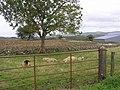 Colourful sheep, Milltown - geograph.org.uk - 1478638.jpg