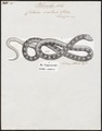 Coluber scalaris - 1700-1880 - Print - Iconographia Zoologica - Special Collections University of Amsterdam - UBA01 IZ12100259.tif