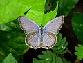 Common Cerulean (Jamides celeno).jpg