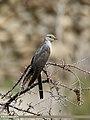 Common Cuckoo (Cuculus canorus) (35577152283).jpg