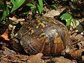 Common Eastern Box Turtle (14766043217).jpg