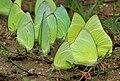 Common Emigrant (Catopsilia pomona) mud-puddling W IMG 0280.jpg