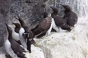 Guillemot - Common guillemots, one in bridled form (with spectacles), and one Brünnich's guillemot (U. lomvia, with white-marked bills) from the genus Uria.