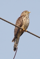 Common Hawk Cuckoo Cuculus varius by Dr Raju Kasambe IMG 8958 (14) cr ed.png