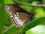 Common Mime Papilio clytia Form clytia by kadavoor.jpg
