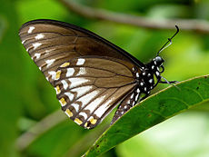 Common Mime Papilio clytia Form clytia by kadavoor.jpg