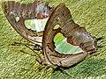 Common Nawabs (Polyura athamas) (6959757940).jpg