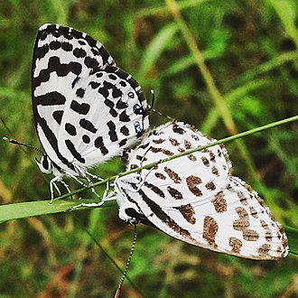 Padur - Common Pierrot spotted at Padur