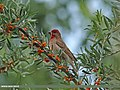 Common Rosefinch (Carpodacus erythrinus) (15708607860).jpg