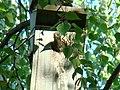 Common Starling-Mindaugas Urbonas-2.jpg