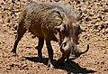 Common Warthog (Phacochoerus africanus) male ... (50217961337).jpg