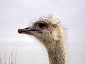 Common ostrich, iran شترمرغ در ایران 06.jpg