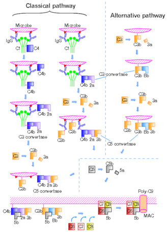 Classical complement pathway - Figure 1 Classical and alternative pathways shown with their corresponding proteins.