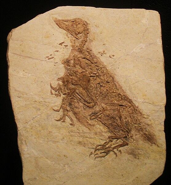 File:Confuciusornis sanctus fossil.jpg