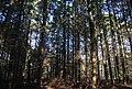 Conifers, Moat Wood - geograph.org.uk - 1568617.jpg