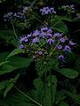 Conoclinium coelestinum - Blue Mist Flower 2.jpg