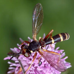 Four-lipped thick-headed fly (Conops quadrifasciatus)