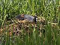 Coot,s nest (4593152018).jpg