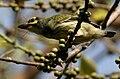 Coppersmith Barbet (Megalaima haemacephala) feeding on Ficus religiosa W IMG 8201.jpg