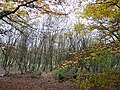 Coppice of silver birch and beech - geograph.org.uk - 1055930.jpg