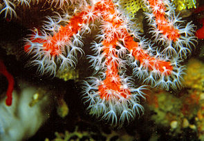 Corallium rubrum (Linnaeus, 1758) 11.jpg