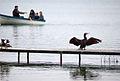Corb marí a l'Estany de Banyoles.jpg