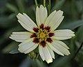 Coreopsis tinctoria 5-PS LR.jpg
