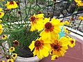 Coreopsis tinctoria plains-xavier cottage-yercaud-salem-India.JPG