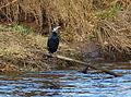 Cormorant in Totnes.jpg