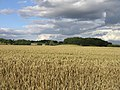 Corn Field - geograph.org.uk - 502048.jpg