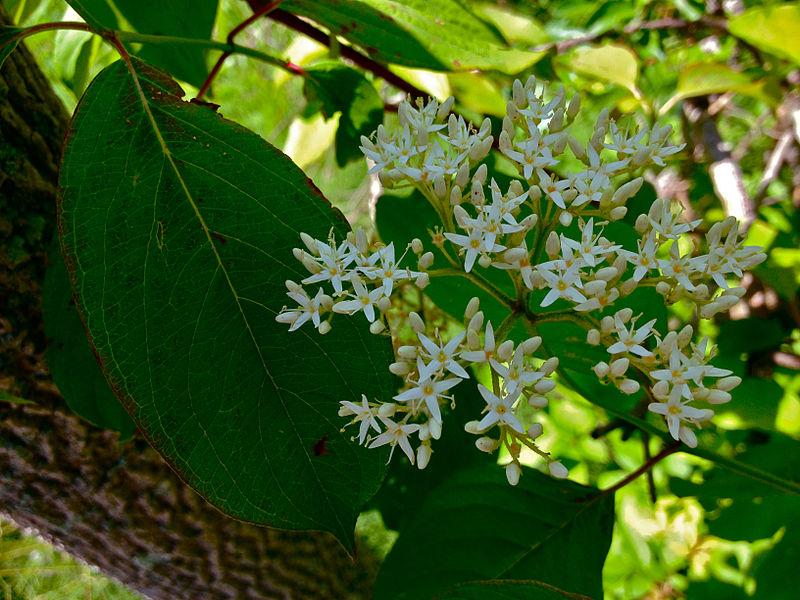 File:Cornus amomum - Silky Dogwood.jpg