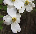 Cornus florida flowers close.jpg