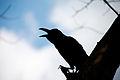 Corvus macrorhynchos, large-billed crow - Lumpini Park - Bangkok (12411256063).jpg