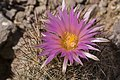 Coryphantha vivipara - Flickr - aspidoscelis (2).jpg