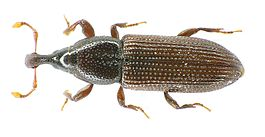 Cossonus linearis above.jpg